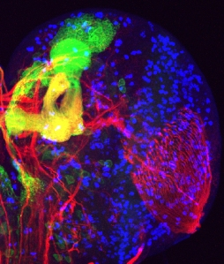 Image of a fruit fly brain.