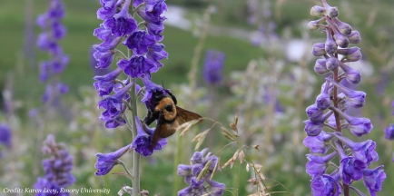 A bumblebee foraging on the petals of a larkspur flower.